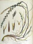 "Vielblütiges Weidelgras - Lolium multiflorum; Bildquelle: <a href=""https://www.pflanzen-deutschland.de/quellen.php?bild_quelle=Jan Kops  17651849 Flora Batava of Afbeelding en Beschrijving van Nederlandsche Gewassen, XV. Deel. 1877"">Jan Kops  17651849 Flora Batava of Afbeelding en Beschrijving van Nederlandsche Gewassen, XV. Deel. 1877</a>; Bildlizenz: <a href=""https://creativecommons.org/licenses/publicdomain/deed.de"" target=_blank title=""Public Domain"">Public Domain</a>;"