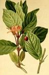"""Alpen-Heckenkirsche - Lonicera alpigena; Bildquelle: <a href=""""https://www.pflanzen-deutschland.de/quellen.php?bild_quelle=Atlas der Alenflora. 1882"""">Atlas der Alenflora. 1882</a>; Bildlizenz: <a href=""""https://creativecommons.org/licenses/publicdomain/deed.de"""" target=_blank title=""""Public Domain"""">Public Domain</a>;"""