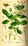"""Wohlriechendes Geißblatt - Lonicera caprifolium; Bildquelle: <a href=""""https://www.pflanzen-deutschland.de/quellen.php?bild_quelle=Prof. Dr. Otto Wilhelm Thome Flora von Deutschland, Österreich und der Schweiz 1885, Gera, Germany"""">Prof. Dr. Otto Wilhelm Thome Flora von Deutschland, Österreich und der Schweiz 1885, Gera, Germany</a>; Bildlizenz: <a href=""""https://creativecommons.org/licenses/publicdomain/deed.de"""" target=_blank title=""""Public Domain"""">Public Domain</a>;"""