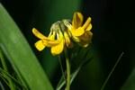 """Gewöhnlicher Hornklee - Lotus corniculatus; Bildquelle: © <a href=""""https://www.pflanzen-deutschland.de/quellen.php?bild_quelle=Fabian Löffelmann,  Vielen Dank"""">Fabian Löffelmann,  Vielen Dank</a> - <b>All rights reserved</b>"""