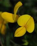 """Gewöhnlicher Hornklee - Lotus corniculatus; Bildquelle: <a href=""""https://www.pflanzen-deutschland.de/quellen.php?bild_quelle=Wikipedia User Morray"""">Wikipedia User Morray</a>; Bildlizenz: <a href=""""https://creativecommons.org/licenses/by-sa/3.0/deed.de"""" target=_blank title=""""Namensnennung - Weitergabe unter gleichen Bedingungen 3.0 Unported (CC BY-SA 3.0)"""">CC BY-SA 3.0</a>; <br>Wiki Commons Bildbeschreibung: <a href=""""https://commons.wikimedia.org/wiki/File:Lotus_corniculatus_(3).JPG"""" target=_blank title=""""https://commons.wikimedia.org/wiki/File:Lotus_corniculatus_(3).JPG"""">https://commons.wikimedia.org/wiki/File:Lotus_corniculatus_(3).JPG</a>"""