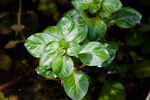 "Sumpf-Heusenkraut - Ludwigia palustris; Bildquelle: <a href=""https://www.pflanzen-deutschland.de/quellen.php?bild_quelle=Wikipedia User AnankeBot"">Wikipedia User AnankeBot</a>; Bildlizenz: <a href=""https://creativecommons.org/licenses/by-sa/2.0/deed.de"" target=_blank title=""Namensnennung - Weitergabe unter gleichen Bedingungen 2.0 Unported (CC BY-SA 2.0)"">CC BY 2.0</a>; <br>Wiki Commons Bildbeschreibung: <a href=""https://commons.wikimedia.org/wiki/File:Ludwigia_palustris-4351_-_Flickr_-_Ragnhild_%26_Neil_Crawford.jpg"" target=_blank title=""https://commons.wikimedia.org/wiki/File:Ludwigia_palustris-4351_-_Flickr_-_Ragnhild_%26_Neil_Crawford.jpg"">https://commons.wikimedia.org/wiki/File:Ludwigia_palustris-4351_-_Flickr_-_Ragnhild_%26_Neil_Crawford.jpg</a>"