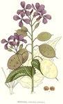 """Einjähriges Silberblatt - Lunaria annua; Bildquelle: <a href=""""https://www.pflanzen-deutschland.de/quellen.php?bild_quelle=Carl Axel Magnus Lindman Bilder ur Nordens Flora 1901-1905"""">Carl Axel Magnus Lindman Bilder ur Nordens Flora 1901-1905</a>; Bildlizenz: <a href=""""https://creativecommons.org/licenses/publicdomain/deed.de"""" target=_blank title=""""Public Domain"""">Public Domain</a>;"""
