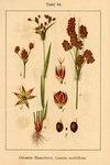 "Vielblütige Hainsimse - Luzula multiflora; Bildquelle: <a href=""https://www.pflanzen-deutschland.de/quellen.php?bild_quelle=Deutschlands Flora in Abbildungen 1796"">Deutschlands Flora in Abbildungen 1796</a>; Bildlizenz: <a href=""https://creativecommons.org/licenses/publicdomain/deed.de"" target=_blank title=""Public Domain"">Public Domain</a>;"