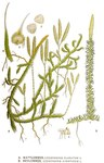 "Sprossender Bärlapp - Lycopodium annotinum; Bildquelle: <a href=""https://www.pflanzen-deutschland.de/quellen.php?bild_quelle=Carl Axel Magnus Lindman Bilder ur Nordens Flora 1901-1905"">Carl Axel Magnus Lindman Bilder ur Nordens Flora 1901-1905</a>; Bildlizenz: <a href=""https://creativecommons.org/licenses/publicdomain/deed.de"" target=_blank title=""Public Domain"">Public Domain</a>;"