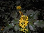 """Gewöhnliche Mahonie - Mahonia aquifolium; Bildquelle: <a href=""""https://www.pflanzen-deutschland.de/quellen.php?bild_quelle=Wikipedia User Salicyna"""">Wikipedia User Salicyna</a>; Bildlizenz: <a href=""""https://creativecommons.org/licenses/by/4.0/deed.de"""" target=_blank title=""""Namensnennung 4.0 International (CC BY 4.0)"""">CC BY 4.0</a>; <br>Wiki Commons Bildbeschreibung: <a href=""""https://commons.wikimedia.org/wiki/File:Mahonia_aquifolium_2016-04-19_8019.jpg"""" target=_blank title=""""https://commons.wikimedia.org/wiki/File:Mahonia_aquifolium_2016-04-19_8019.jpg"""">https://commons.wikimedia.org/wiki/File:Mahonia_aquifolium_2016-04-19_8019.jpg</a>"""
