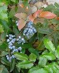"""Gewöhnliche Mahonie - Mahonia aquifolium; Bildquelle: <a href=""""https://www.pflanzen-deutschland.de/quellen.php?bild_quelle=Leo Michels, Untereisesheim"""">Leo Michels, Untereisesheim</a>; Bildlizenz: <a href=""""https://creativecommons.org/licenses/by-sa/3.0/deed.de"""" target=_blank title=""""Namensnennung - Weitergabe unter gleichen Bedingungen 3.0 Unported (CC BY-SA 3.0)"""">CC BY-SA 3.0</a>;"""