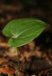 """Schattenblümchen - Maianthemum bifolium; Bildquelle: <a href=""""https://www.pflanzen-deutschland.de/quellen.php?bild_quelle=Wikipedia User Danny S."""">Wikipedia User Danny S.</a>; Bildlizenz: <a href=""""https://creativecommons.org/licenses/by-sa/3.0/deed.de"""" target=_blank title=""""Namensnennung - Weitergabe unter gleichen Bedingungen 3.0 Unported (CC BY-SA 3.0)"""">CC BY-SA 3.0</a>; <br>Wiki Commons Bildbeschreibung: <a href=""""https://commons.wikimedia.org/wiki/File:Maianthemum_bifolium_by_Danny_S._-_001.jpg"""" target=_blank title=""""https://commons.wikimedia.org/wiki/File:Maianthemum_bifolium_by_Danny_S._-_001.jpg"""">https://commons.wikimedia.org/wiki/File:Maianthemum_bifolium_by_Danny_S._-_001.jpg</a>"""