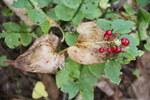 """Schattenblümchen - Maianthemum bifolium; Bildquelle: <a href=""""https://www.pflanzen-deutschland.de/quellen.php?bild_quelle=Wikipedia User Bjoertvedt"""">Wikipedia User Bjoertvedt</a>; Bildlizenz: <a href=""""https://creativecommons.org/licenses/by/4.0/deed.de"""" target=_blank title=""""Namensnennung 4.0 International (CC BY 4.0)"""">CC BY 4.0</a>; <br>Wiki Commons Bildbeschreibung: <a href=""""https://commons.wikimedia.org/wiki/File:Maianthemum_bifoliumIMG_8759_maiblomst_bogstad.jpg"""" target=_blank title=""""https://commons.wikimedia.org/wiki/File:Maianthemum_bifoliumIMG_8759_maiblomst_bogstad.jpg"""">https://commons.wikimedia.org/wiki/File:Maianthemum_bifoliumIMG_8759_maiblomst_bogstad.jpg</a>"""
