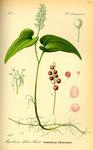 """Schattenblümchen - Maianthemum bifolium; Bildquelle: <a href=""""https://www.pflanzen-deutschland.de/quellen.php?bild_quelle=Prof. Dr. Otto Wilhelm Thome Flora von Deutschland, Österreich und der Schweiz 1885, Gera, Germany"""">Prof. Dr. Otto Wilhelm Thome Flora von Deutschland, Österreich und der Schweiz 1885, Gera, Germany</a>; Bildlizenz: <a href=""""https://creativecommons.org/licenses/publicdomain/deed.de"""" target=_blank title=""""Public Domain"""">Public Domain</a>;"""