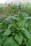 """Borretsch - Borago officinalis; Bildquelle: &copy; <a href=""""http://dev.pflanzen-deutschland.de/quellen.php?bild_quelle=Bönisch 2009"""">Bönisch 2009</a> - <b>All rights reserved</b>"""