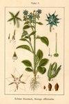 "Borretsch - Borago officinalis; Bildquelle: <a href=""http://dev.pflanzen-deutschland.de/quellen.php?bild_quelle=Deutschlands Flora in Abbildungen 1796"">Deutschlands Flora in Abbildungen 1796</a>; Bildlizenz: <a href=""https://creativecommons.org/licenses/publicdomain/deed.de"" target=_blank title=""Public Domain"">Public Domain</a>;"