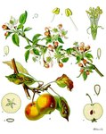 "Garten-Apfel - Malus domestica; Bildquelle: <a href=""https://www.pflanzen-deutschland.de/quellen.php?bild_quelle=Wikipedia User Editor at Large"">Wikipedia User Editor at Large</a>; Bildlizenz: <a href=""https://creativecommons.org/licenses/by-sa/3.0/deed.de"" target=_blank title=""Namensnennung - Weitergabe unter gleichen Bedingungen 3.0 Unported (CC BY-SA 3.0)"">CC BY-SA 3.0</a>; <br>Wiki Commons Bildbeschreibung: <a href=""http://commons.wikimedia.org/wiki/File:Malus_domestica_-_K%C3%B6hler%E2%80%93s_Medizinal-Pflanzen-108.jpg"" target=_blank title=""http://commons.wikimedia.org/wiki/File:Malus_domestica_-_K%C3%B6hler%E2%80%93s_Medizinal-Pflanzen-108.jpg"">http://commons.wikimedia.org/wiki/File:Malus_domestica_-_K%C3%B6hler%E2%80%93s_Medizinal-Pflanzen-108.jpg</a>"