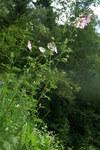 """Siegmarswurz - Malva alcea; Bildquelle: <a href=""""https://www.pflanzen-deutschland.de/quellen.php?bild_quelle=Wikipedia User Sporti"""">Wikipedia User Sporti</a>; Bildlizenz: <a href=""""https://creativecommons.org/licenses/by-sa/2.5/deed.de"""" target=_blank title=""""Namensnennung - Weitergabe unter gleichen Bedingungen 2.5 Unported (CC BY-SA 2.5)"""">CC BY 2.5</a>; <br>Wiki Commons Bildbeschreibung: <a href=""""https://commons.wikimedia.org/wiki/File:Malva_alcea_PID1152-1.jpg"""" target=_blank title=""""https://commons.wikimedia.org/wiki/File:Malva_alcea_PID1152-1.jpg"""">https://commons.wikimedia.org/wiki/File:Malva_alcea_PID1152-1.jpg</a>"""