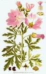 """Siegmarswurz - Malva alcea; Bildquelle: <a href=""""https://www.pflanzen-deutschland.de/quellen.php?bild_quelle=Carl Axel Magnus Lindman Bilder ur Nordens Flora 1901-1905"""">Carl Axel Magnus Lindman Bilder ur Nordens Flora 1901-1905</a>; Bildlizenz: <a href=""""https://creativecommons.org/licenses/publicdomain/deed.de"""" target=_blank title=""""Public Domain"""">Public Domain</a>;"""