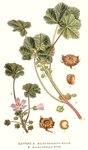 """Weg-Malve - Malva neglecta; Bildquelle: <a href=""""https://www.pflanzen-deutschland.de/quellen.php?bild_quelle=Carl Axel Magnus Lindman Bilder ur Nordens Flora 1901-1905"""">Carl Axel Magnus Lindman Bilder ur Nordens Flora 1901-1905</a>; Bildlizenz: <a href=""""https://creativecommons.org/licenses/publicdomain/deed.de"""" target=_blank title=""""Public Domain"""">Public Domain</a>;"""