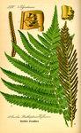 """Straußenfarn - Matteuccia struthiopteris; Bildquelle: <a href=""""https://www.pflanzen-deutschland.de/quellen.php?bild_quelle=Prof. Dr. Otto Wilhelm Thome Flora von Deutschland, Österreich und der Schweiz 1885, Gera, Germany"""">Prof. Dr. Otto Wilhelm Thome Flora von Deutschland, Österreich und der Schweiz 1885, Gera, Germany</a>; Bildlizenz: <a href=""""https://creativecommons.org/licenses/publicdomain/deed.de"""" target=_blank title=""""Public Domain"""">Public Domain</a>;"""