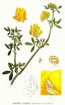 """Sichelklee - Medicago falcata; Bildquelle: <a href=""""https://www.pflanzen-deutschland.de/quellen.php?bild_quelle=Carl Axel Magnus Lindman Bilder ur Nordens Flora 1901-1905"""">Carl Axel Magnus Lindman Bilder ur Nordens Flora 1901-1905</a>; Bildlizenz: <a href=""""https://creativecommons.org/licenses/publicdomain/deed.de"""" target=_blank title=""""Public Domain"""">Public Domain</a>;"""