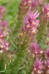 """Acker Wachtelweizen - Melampyrum arvense; Bildquelle: © <a href=""""https://www.pflanzen-deutschland.de/quellen.php?bild_quelle=Bönisch 2009"""">Bönisch 2009</a> - <b>All rights reserved</b>"""