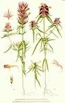 """Acker Wachtelweizen - Melampyrum arvense; Bildquelle: <a href=""""https://www.pflanzen-deutschland.de/quellen.php?bild_quelle=Carl Axel Magnus Lindman Bilder ur Nordens Flora 1901-1905"""">Carl Axel Magnus Lindman Bilder ur Nordens Flora 1901-1905</a>; Bildlizenz: <a href=""""https://creativecommons.org/licenses/publicdomain/deed.de"""" target=_blank title=""""Public Domain"""">Public Domain</a>;"""