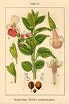 "Immenblatt - Melittis melissophyllum; Bildquelle: <a href=""https://www.pflanzen-deutschland.de/quellen.php?bild_quelle=Deutschlands Flora in Abbildungen 1796"">Deutschlands Flora in Abbildungen 1796</a>; Bildlizenz: <a href=""https://creativecommons.org/licenses/publicdomain/deed.de"" target=_blank title=""Public Domain"">Public Domain</a>;"