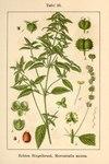 """Einjähriges Bingelkraut - Mercurialis annua; Bildquelle: <a href=""""https://www.pflanzen-deutschland.de/quellen.php?bild_quelle=Deutschlands Flora in Abbildungen 1796"""">Deutschlands Flora in Abbildungen 1796</a>; Bildlizenz: <a href=""""https://creativecommons.org/licenses/publicdomain/deed.de"""" target=_blank title=""""Public Domain"""">Public Domain</a>;"""