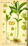 """Wald-Bingelkraut - Mercurialis perennis; Bildquelle: <a href=""""https://www.pflanzen-deutschland.de/quellen.php?bild_quelle=Prof. Dr. Otto Wilhelm Thome Flora von Deutschland, Österreich und der Schweiz 1885, Gera, Germany"""">Prof. Dr. Otto Wilhelm Thome Flora von Deutschland, Österreich und der Schweiz 1885, Gera, Germany</a>; Bildlizenz: <a href=""""https://creativecommons.org/licenses/publicdomain/deed.de"""" target=_blank title=""""Public Domain"""">Public Domain</a>;"""