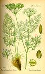 """Bärwurz - Meum athamanticum; Bildquelle: <a href=""""https://www.pflanzen-deutschland.de/quellen.php?bild_quelle=Prof. Dr. Otto Wilhelm Thome Flora von Deutschland, Österreich und der Schweiz 1885, Gera, Germany"""">Prof. Dr. Otto Wilhelm Thome Flora von Deutschland, Österreich und der Schweiz 1885, Gera, Germany</a>; Bildlizenz: <a href=""""https://creativecommons.org/licenses/publicdomain/deed.de"""" target=_blank title=""""Public Domain"""">Public Domain</a>;"""