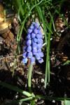 """Armenische Traubenhyazinthe - Muscari armeniacum; Bildquelle: <a href=""""https://www.pflanzen-deutschland.de/quellen.php?bild_quelle=Wikipedia User Schnobby"""">Wikipedia User Schnobby</a>; Bildlizenz: <a href=""""https://creativecommons.org/licenses/by-sa/3.0/deed.de"""" target=_blank title=""""Namensnennung - Weitergabe unter gleichen Bedingungen 3.0 Unported (CC BY-SA 3.0)"""">CC BY-SA 3.0</a>; <br>Wiki Commons Bildbeschreibung: <a href=""""https://commons.wikimedia.org/wiki/File:Muscari_armeniacum,_blossom.jpg"""" target=_blank title=""""https://commons.wikimedia.org/wiki/File:Muscari_armeniacum,_blossom.jpg"""">https://commons.wikimedia.org/wiki/File:Muscari_armeniacum,_blossom.jpg</a>"""