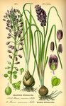 """Weinbergs-Traubenhyazinthe - Muscari neglectum; Bildquelle: <a href=""""https://www.pflanzen-deutschland.de/quellen.php?bild_quelle=Prof. Dr. Otto Wilhelm Thome Flora von Deutschland, Österreich und der Schweiz 1885, Gera, Germany"""">Prof. Dr. Otto Wilhelm Thome Flora von Deutschland, Österreich und der Schweiz 1885, Gera, Germany</a>; Bildlizenz: <a href=""""https://creativecommons.org/licenses/publicdomain/deed.de"""" target=_blank title=""""Public Domain"""">Public Domain</a>;"""