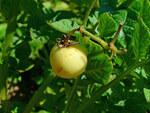 """Kartoffel - Solanum tuberosum; Bildquelle: <a href=""""https://www.pflanzen-deutschland.de/quellen.php?bild_quelle=Wikipedia User Llez"""">Wikipedia User Llez</a>; Bildlizenz: <a href=""""https://creativecommons.org/licenses/by-sa/3.0/deed.de"""" target=_blank title=""""Namensnennung - Weitergabe unter gleichen Bedingungen 3.0 Unported (CC BY-SA 3.0)"""">CC BY-SA 3.0</a>; <br>Wiki Commons Bildbeschreibung: <a href=""""https://commons.wikimedia.org/wiki/File:Solanum_tuberosum_004.JPG"""" target=_blank title=""""https://commons.wikimedia.org/wiki/File:Solanum_tuberosum_004.JPG"""">https://commons.wikimedia.org/wiki/File:Solanum_tuberosum_004.JPG</a>"""