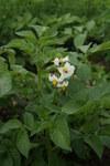 """Kartoffel - Solanum tuberosum; Bildquelle: <a href=""""https://www.pflanzen-deutschland.de/quellen.php?bild_quelle=Wikipedia User Danny S."""">Wikipedia User Danny S.</a>; Bildlizenz: <a href=""""https://creativecommons.org/licenses/by/4.0/deed.de"""" target=_blank title=""""Namensnennung 4.0 International (CC BY 4.0)"""">CC BY 4.0</a>; <br>Wiki Commons Bildbeschreibung: <a href=""""https://commons.wikimedia.org/wiki/File:Solanum_tuberosum-4716-2.jpg"""" target=_blank title=""""https://commons.wikimedia.org/wiki/File:Solanum_tuberosum-4716-2.jpg"""">https://commons.wikimedia.org/wiki/File:Solanum_tuberosum-4716-2.jpg</a>"""