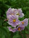"""Kartoffel - Solanum tuberosum; Bildquelle: <a href=""""https://www.pflanzen-deutschland.de/quellen.php?bild_quelle=Wikipedia User Francois GOGLINS"""">Wikipedia User Francois GOGLINS</a>; Bildlizenz: <a href=""""https://creativecommons.org/licenses/by-sa/3.0/deed.de"""" target=_blank title=""""Namensnennung - Weitergabe unter gleichen Bedingungen 3.0 Unported (CC BY-SA 3.0)"""">CC BY-SA 3.0</a>; <br>Wiki Commons Bildbeschreibung: <a href=""""https://commons.wikimedia.org/wiki/File:Falaise-FR-08-Solanum_tuberosum-07.jpg"""" target=_blank title=""""https://commons.wikimedia.org/wiki/File:Falaise-FR-08-Solanum_tuberosum-07.jpg"""">https://commons.wikimedia.org/wiki/File:Falaise-FR-08-Solanum_tuberosum-07.jpg</a>"""