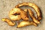 "Kartoffel - Solanum tuberosum; Bildquelle: <a href=""https://www.pflanzen-deutschland.de/quellen.php?bild_quelle=Wikipedia User Chiswick Chap"">Wikipedia User Chiswick Chap</a>; Bildlizenz: <a href=""https://creativecommons.org/licenses/by/4.0/deed.de"" target=_blank title=""Namensnennung 4.0 International (CC BY 4.0)"">CC BY 4.0</a>; <br>Wiki Commons Bildbeschreibung: <a href=""https://commons.wikimedia.org/wiki/File:Solanum_tuberosum_-_michu%C3%B1e_blanca.JPG"" target=_blank title=""https://commons.wikimedia.org/wiki/File:Solanum_tuberosum_-_michu%C3%B1e_blanca.JPG"">https://commons.wikimedia.org/wiki/File:Solanum_tuberosum_-_michu%C3%B1e_blanca.JPG</a>"