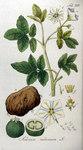 """Kartoffel - Solanum tuberosum; Bildquelle: <a href=""""https://www.pflanzen-deutschland.de/quellen.php?bild_quelle=Adolphus Ypey 1813"""">Adolphus Ypey 1813</a>; Bildlizenz: <a href=""""https://creativecommons.org/licenses/by-sa/3.0/deed.de"""" target=_blank title=""""Namensnennung - Weitergabe unter gleichen Bedingungen 3.0 Unported (CC BY-SA 3.0)"""">CC BY-SA 3.0</a>;"""