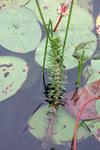 """Verschiedenblättriges Tausendblatt - Myriophyllum heterophyllum; Bildquelle: <a href=""""https://www.pflanzen-deutschland.de/quellen.php?bild_quelle=Wikipedia User Nonenmac"""">Wikipedia User Nonenmac</a>; Bildlizenz: <a href=""""https://creativecommons.org/licenses/by-sa/3.0/deed.de"""" target=_blank title=""""Namensnennung - Weitergabe unter gleichen Bedingungen 3.0 Unported (CC BY-SA 3.0)"""">CC BY-SA 3.0</a>; <br>Wiki Commons Bildbeschreibung: <a href=""""https://commons.wikimedia.org/wiki/File:Myriophyllum_heterophyllum_5457830.jpg"""" target=_blank title=""""https://commons.wikimedia.org/wiki/File:Myriophyllum_heterophyllum_5457830.jpg"""">https://commons.wikimedia.org/wiki/File:Myriophyllum_heterophyllum_5457830.jpg</a>"""