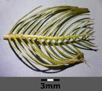 """Ähriges Tausendblatt - Myriophyllum spicatum; Bildquelle: <a href=""""https://www.pflanzen-deutschland.de/quellen.php?bild_quelle=Wikipedia User Stefan.lefnaer"""">Wikipedia User Stefan.lefnaer</a>; Bildlizenz: <a href=""""https://creativecommons.org/licenses/by-sa/3.0/deed.de"""" target=_blank title=""""Namensnennung - Weitergabe unter gleichen Bedingungen 3.0 Unported (CC BY-SA 3.0)"""">CC BY-SA 3.0</a>; <br>Wiki Commons Bildbeschreibung: <a href=""""https://commons.wikimedia.org/wiki/File:Myriophyllum_spicatum_sl5.jpg"""" target=_blank title=""""https://commons.wikimedia.org/wiki/File:Myriophyllum_spicatum_sl5.jpg"""">https://commons.wikimedia.org/wiki/File:Myriophyllum_spicatum_sl5.jpg</a>"""