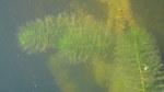 """Quirlblütiges Tausendblatt - Myriophyllum verticillatum; Bildquelle: <a href=""""https://www.pflanzen-deutschland.de/quellen.php?bild_quelle=Wikipedia User Traper Bemowski"""">Wikipedia User Traper Bemowski</a>; Bildlizenz: <a href=""""https://creativecommons.org/licenses/by-sa/3.0/deed.de"""" target=_blank title=""""Namensnennung - Weitergabe unter gleichen Bedingungen 3.0 Unported (CC BY-SA 3.0)"""">CC BY-SA 3.0</a>; <br>Wiki Commons Bildbeschreibung: <a href=""""https://commons.wikimedia.org/wiki/File:Myriophyllum_verticillatum_M._spicatum_jezioro_Ostr%C3%B3w_Pojezierze_My%C5%9Bliborskie.jpg"""" target=_blank title=""""https://commons.wikimedia.org/wiki/File:Myriophyllum_verticillatum_M._spicatum_jezioro_Ostr%C3%B3w_Pojezierze_My%C5%9Bliborskie.jpg"""">https://commons.wikimedia.org/wiki/File:Myriophyllum_verticillatum_M._spicatum_jezioro_Ostr%C3%B3w_Pojezierze_My%C5%9Bliborskie.jpg</a>"""