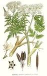 """Süßdolde - Myrrhis odorata; Bildquelle: <a href=""""https://www.pflanzen-deutschland.de/quellen.php?bild_quelle=Carl Axel Magnus Lindman Bilder ur Nordens Flora 1901-1905"""">Carl Axel Magnus Lindman Bilder ur Nordens Flora 1901-1905</a>; Bildlizenz: <a href=""""https://creativecommons.org/licenses/publicdomain/deed.de"""" target=_blank title=""""Public Domain"""">Public Domain</a>;"""