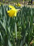 "Osterglocke - Narcissus pseudonarcissus; Bildquelle: <a href=""https://www.pflanzen-deutschland.de/quellen.php?bild_quelle=Wikipedia User KENPEI"">Wikipedia User KENPEI</a>; Bildlizenz: <a href=""https://creativecommons.org/licenses/by-sa/3.0/deed.de"" target=_blank title=""Namensnennung - Weitergabe unter gleichen Bedingungen 3.0 Unported (CC BY-SA 3.0)"">CC BY-SA 3.0</a>; <br>Wiki Commons Bildbeschreibung: <a href=""https://commons.wikimedia.org/wiki/File:Narcissus_pseudonarcissus5.jpg"" target=_blank title=""https://commons.wikimedia.org/wiki/File:Narcissus_pseudonarcissus5.jpg"">https://commons.wikimedia.org/wiki/File:Narcissus_pseudonarcissus5.jpg</a>"