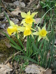 "Osterglocke - Narcissus pseudonarcissus; Bildquelle: <a href=""https://www.pflanzen-deutschland.de/quellen.php?bild_quelle=Wikipedia User Meneerke bloem"">Wikipedia User Meneerke bloem</a>; Bildlizenz: <a href=""https://creativecommons.org/licenses/by-sa/3.0/deed.de"" target=_blank title=""Namensnennung - Weitergabe unter gleichen Bedingungen 3.0 Unported (CC BY-SA 3.0)"">CC BY-SA 3.0</a>; <br>Wiki Commons Bildbeschreibung: <a href=""https://commons.wikimedia.org/wiki/File:Narcissus_pseudonarcissus004.jpg"" target=_blank title=""https://commons.wikimedia.org/wiki/File:Narcissus_pseudonarcissus004.jpg"">https://commons.wikimedia.org/wiki/File:Narcissus_pseudonarcissus004.jpg</a>"