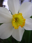 "Osterglocke - Narcissus pseudonarcissus; Bildquelle: <a href=""https://www.pflanzen-deutschland.de/quellen.php?bild_quelle=Wikipedia User Smihael"">Wikipedia User Smihael</a>; Bildlizenz: <a href=""https://creativecommons.org/licenses/by-sa/3.0/deed.de"" target=_blank title=""Namensnennung - Weitergabe unter gleichen Bedingungen 3.0 Unported (CC BY-SA 3.0)"">CC BY-SA 3.0</a>; <br>Wiki Commons Bildbeschreibung: <a href=""https://commons.wikimedia.org/wiki/File:Narcissus_pseudonarcissus_(VG_01).jpg"" target=_blank title=""https://commons.wikimedia.org/wiki/File:Narcissus_pseudonarcissus_(VG_01).jpg"">https://commons.wikimedia.org/wiki/File:Narcissus_pseudonarcissus_(VG_01).jpg</a>"