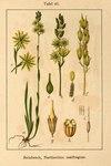"Beinbrech - Narthecium ossifragum; Bildquelle: <a href=""https://www.pflanzen-deutschland.de/quellen.php?bild_quelle=Deutschlands Flora in Abbildungen 1796"">Deutschlands Flora in Abbildungen 1796</a>; Bildlizenz: <a href=""https://creativecommons.org/licenses/publicdomain/deed.de"" target=_blank title=""Public Domain"">Public Domain</a>;"