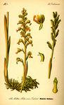 """Vogelnestwurz - Neottia nidus-avis; Bildquelle: <a href=""""https://www.pflanzen-deutschland.de/quellen.php?bild_quelle=Prof. Dr. Otto Wilhelm Thome Flora von Deutschland, Österreich und der Schweiz 1885, Gera, Germany"""">Prof. Dr. Otto Wilhelm Thome Flora von Deutschland, Österreich und der Schweiz 1885, Gera, Germany</a>; Bildlizenz: <a href=""""https://creativecommons.org/licenses/publicdomain/deed.de"""" target=_blank title=""""Public Domain"""">Public Domain</a>;"""