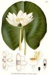 """Glänzende Seerose - Nymphaea candida; Bildquelle: <a href=""""https://www.pflanzen-deutschland.de/quellen.php?bild_quelle=Carl Axel Magnus Lindman Bilder ur Nordens Flora 1901-1905"""">Carl Axel Magnus Lindman Bilder ur Nordens Flora 1901-1905</a>; Bildlizenz: <a href=""""https://creativecommons.org/licenses/publicdomain/deed.de"""" target=_blank title=""""Public Domain"""">Public Domain</a>;"""
