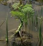 """Wasserfenchel - Oenanthe aquatica; Bildquelle: <a href=""""https://www.pflanzen-deutschland.de/quellen.php?bild_quelle=Wikipedia User Isissss"""">Wikipedia User Isissss</a>; Bildlizenz: <a href=""""https://creativecommons.org/licenses/by/4.0/deed.de"""" target=_blank title=""""Namensnennung 4.0 International (CC BY 4.0)"""">CC BY 4.0</a>; <br>Wiki Commons Bildbeschreibung: <a href=""""https://commons.wikimedia.org/wiki/File:Oenanthe_aquatica_(L.)_Poiret.jpg"""" target=_blank title=""""https://commons.wikimedia.org/wiki/File:Oenanthe_aquatica_(L.)_Poiret.jpg"""">https://commons.wikimedia.org/wiki/File:Oenanthe_aquatica_(L.)_Poiret.jpg</a>"""