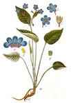 "Frühlings-Nabelnüßchen - Omphalodes verna; Bildquelle: <a href=""https://www.pflanzen-deutschland.de/quellen.php?bild_quelle=Deutschlands Flora in Abbildungen 1796"">Deutschlands Flora in Abbildungen 1796</a>; Bildlizenz: <a href=""https://creativecommons.org/licenses/publicdomain/deed.de"" target=_blank title=""Public Domain"">Public Domain</a>;"