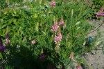 """Sand-Esparsette - Onobrychis arenaria; Bildquelle: <a href=""""https://www.pflanzen-deutschland.de/quellen.php?bild_quelle=Wikipedia User Flukeman"""">Wikipedia User Flukeman</a>; Bildlizenz: <a href=""""https://creativecommons.org/licenses/by-sa/3.0/deed.de"""" target=_blank title=""""Namensnennung - Weitergabe unter gleichen Bedingungen 3.0 Unported (CC BY-SA 3.0)"""">CC BY-SA 3.0</a>;"""