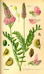 """Futter-Esparsette - Onobrychis viciifolia; Bildquelle: <a href=""""https://www.pflanzen-deutschland.de/quellen.php?bild_quelle=Prof. Dr. Otto Wilhelm Thome Flora von Deutschland, Österreich und der Schweiz 1885, Gera, Germany"""">Prof. Dr. Otto Wilhelm Thome Flora von Deutschland, Österreich und der Schweiz 1885, Gera, Germany</a>; Bildlizenz: <a href=""""https://creativecommons.org/licenses/publicdomain/deed.de"""" target=_blank title=""""Public Domain"""">Public Domain</a>;"""