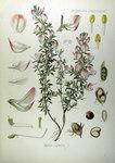 """Dornige Hauhechel - Ononis spinosa; Bildquelle: <a href=""""https://www.pflanzen-deutschland.de/quellen.php?bild_quelle=Köhlers Medizinal-Pflanzen in naturgetreuen Abbildungen mit kurz erläuterndem Texte. Band 2. 1887"""">Köhlers Medizinal-Pflanzen in naturgetreuen Abbildungen mit kurz erläuterndem Texte. Band 2. 1887</a>; Bildlizenz: <a href=""""https://creativecommons.org/licenses/publicdomain/deed.de"""" target=_blank title=""""Public Domain"""">Public Domain</a>;"""